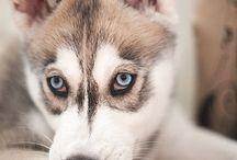 Siberian huskies