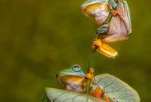 Amphibians / Paddatjies