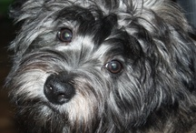 My little one  / my havanese, Teddy :)