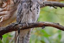 Owls and frogmouths