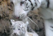 Tigers  / Tigers