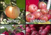 Growing Fruits / Why buy fruits when you can grow an endless supply? Learn how to grow fruits at home.