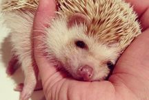 Hedgehog / Photograps are not mine. Credits belongs to those, who has taken these pictures.