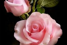 ROSES     薔薇