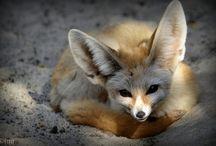 Foxes / by Eira Braun-Labossiere
