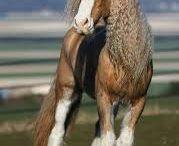 Koně,Irský cob, Gypsy horse