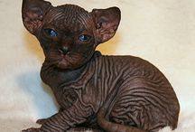 Hairless cats / because I want a hairless cat