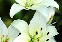 All About LILIES / A complete guide to types of lilies, and caring for your lilies.