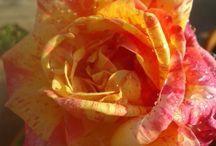 MY ROOF  GARDEN  ROSES1 / MY ROOF  GARDEN  ROSES
