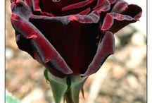 rózsa3
