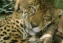 Leopards, Jaguars, Ocelots / Beautiful spots and more spots!