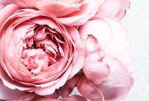 Rózsák / Rosen