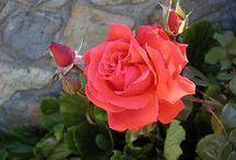 {rose} in bloom / by Cara Leotie