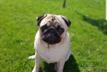 Ollie the Pug