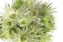 Eryngium distels / WiN BLOOM is ook producent en leverancier van de hoogwaardige collectie Eryngium distels, zowel in de diepblauwe (Donard) kleur als de witte (White green) kleur.