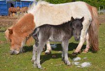 miniature horses / miniature foals born on our farm