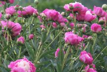 BLOOM | Herbaceous Mid - Late / MID TO LATE BLOOMING HERBACEOUS PEONIES