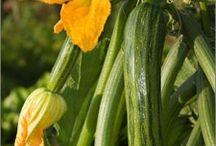 Planting zucchinis and kumara