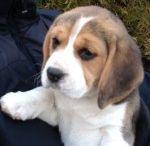 Lily the beagle / Kiskutyánk, Lily 2013. novemberében született. Imádnivaló és okos beagle kislány:)
