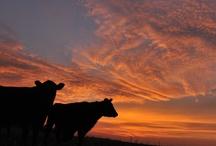 Non Horned Cattle