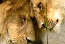 lions / özlenen