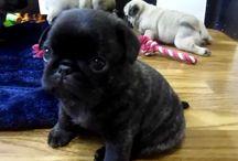 Pugs!!! / Beautiful and adorable pugs!