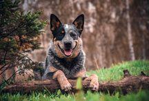 DINGOSTAR ADONIS LIGHTINING / Австралийская пастушья собака Австралийский хилер Australian Cattle Dog