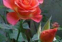 Rózsák (Roses)