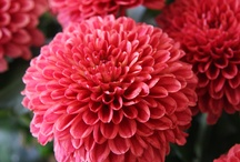 Chrysanthemum and Dahlia