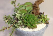 Sacculentler