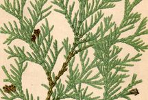 "Thuja Family / Genus in the Cupressaceae family. Commonly known as Arborvitaes. ""Tree of life"", Thujas or Cedars. Five species in the genus. Two native to North America. -  Thuja occidentalis -  Thuja plicata  Three native to Eastern Asia. -  Thuja koraiensis -  Thuja standishii -  Thuja sutchuenensis"