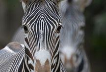 Zoo Zebra & Horse