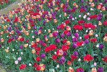 tulipani / parco segurta' borghetto sul Mincio