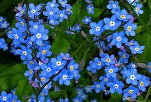 Blue blooms for the garden