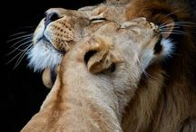 """Lions / Beautiful Beasts My honey once sent me a beautiful picture of a male and female lion. The text read """"A King Only Bows Down to His Queen."""""""