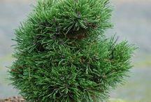 Pinus uncinata Havasi kampósfenyő