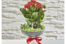 Kalanşo çiçeği / özel tasarım kalanşo çiçekleri