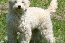 Abby , goldendoodle