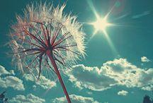 Dandelions / by Shauna Holloway