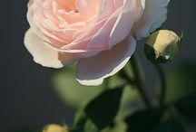 розы и др