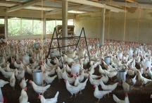 kippen kweken Mali