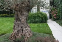 Tuinplan olijfboom