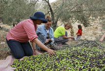 Olive Harvest in Palestine  / Scenes from 2012 West Bank olive harvest