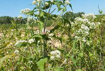Eupatoire perfoliée - Common boneset (Eupatorium perfoliatum)