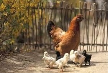 Chickens, coops, & more / by Terri Collins