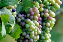 Growing - Grapes