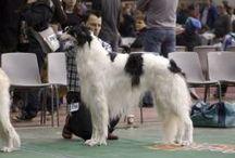 Borzoi stud dogs
