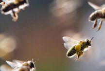 Bees / Bees and Honey