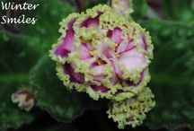 African Violets / A picture list of AVs I have that aren't in bloom right now. / by Penny Richens