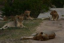Lions: Tsalala pride